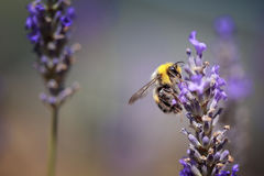 Bumblebee on Beautiful Lavender blooming in early summer stock images
