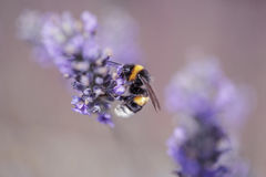 Bumblebee on Beautiful Lavender blooming in early summer royalty free stock image