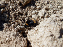 Bumblebee. Bee on the ground bumble Royalty Free Stock Photography