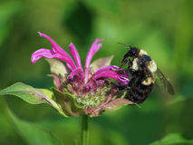 Bumblebee on Bergamot Flower Stock Images
