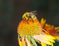 Bumblebee on a big flower. Royalty Free Stock Photo