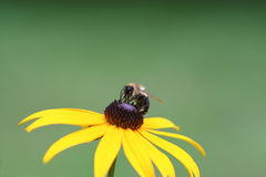 Bumblebee and Black Eyed Susan Stock Image