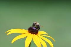 Bumblebee and Black Eyed Susan. Macro image of bumblebee on a Black Eyed Susan in the garden Stock Image