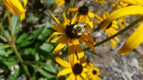 Bumblebee on black-eyed Susan in bright sunshine. Focus on Bumble bee on bright yellow Black-eyed Susan flowers in sunshine, center with leaves and other flowers Royalty Free Stock Photos