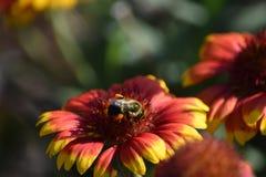 Bumblebee on Blanket Flower Stock Photo