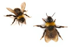 bumblebee blisko, zdjęcie royalty free