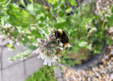 Bumblebee on a blooming catnip Stock Photography