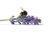 Bumblebee on blooming lavender. Bumblebee with pollen pockets on blooming lavender isolated on white background Royalty Free Stock Photo