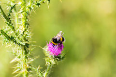 Bumblebee that blooms a flower Royalty Free Stock Photography