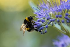 Bumblebee with blue flower / bloom royalty free stock image