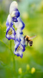 Bumblebee on a blue flower Royalty Free Stock Photos