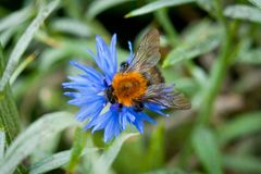 Bumblebee on a blue flower shot close-up against a background of green grass.  Stock Photos