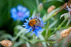Bumblebee on a blue flower shot close-up against a background of green grass.  Royalty Free Stock Image