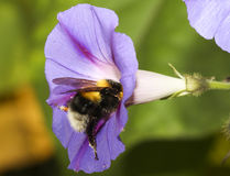 Bumblebee on blue flower Stock Photos