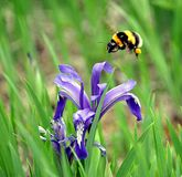 Bumblebee and blue flowers bloomed Stock Photo
