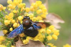 Bumblebee with blue wings on yellow flowers. Spring blossom. royalty free stock photos