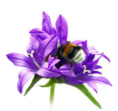 Bumblebee on bluebell. Royalty Free Stock Photo
