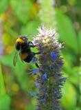 Bumblebee (Bombus) Royalty Free Stock Image