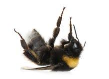 Bumblebee, Bombus Stock Images