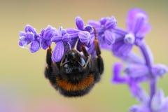 Bumblebee Bombus Obraz Royalty Free