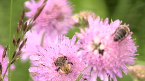 Bumblebee (bombus) and bee collect pollen from pink flower stock footage