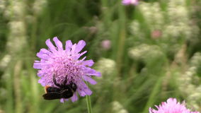 Bumblebee (bombus) collect pollen nectar from pink flower bloom stock footage