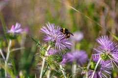 Bumblebee (bombus) collecting pollen. Stock Photography