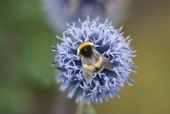 Bumblebee (Bombus spp.) Royalty Free Stock Photos