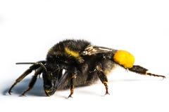 Bumblebee / Bombus terrestris Stock Image
