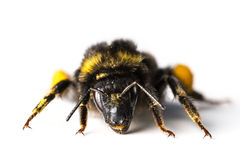 Bumblebee / Bombus terrestris Royalty Free Stock Images