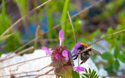 Bumblebee,Bombus terrestris Stock Image