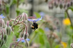 Bumblebee on borago officinalis flower, also a starflower, is an annual herb in the flowering plant family Boraginaceae. Bee on a flower of borago officinalis royalty free stock images