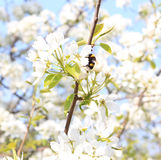Bumblebee on a branch of blossoming apple trees Royalty Free Stock Photo