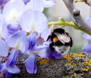 Bumblebee. On a branch full of flowers Stock Photos
