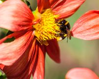 Bumblebee on a bright orange chrysanthemum flower. With a yellow middle in the park, sunny day, lit by sunlight, insect in profile Royalty Free Stock Photography