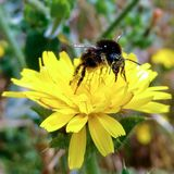 Bumblebee on Bristly Oxtongue. Flora of East Sussex England royalty free stock photography