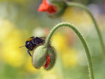 Bumblebee on bud of poppy Stock Image