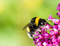 Bumblebee on buddleia blossoms Stock Image