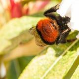 Bumblebee Bum Stock Image