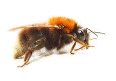 The Bumblebee. Royalty Free Stock Photos