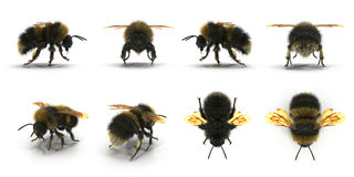 The Bumblebee or Bumble Bee Bombus terrestris isolated renders set from different angles on a white. 3D illustration. The Bumblebee or Bumble Bee Bombus Royalty Free Stock Images