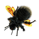 The Bumblebee or Bumble Bee Bombus terrestris isolated on white. 3D illustration. The Bumblebee or Bumble Bee Bombus terrestris isolated on white background. 3D Stock Photo