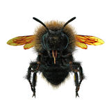 The Bumblebee or Bumble Bee Bombus terrestris isolated on white. 3D illustration. The Bumblebee or Bumble Bee Bombus terrestris isolated on white background. 3D Royalty Free Stock Photo