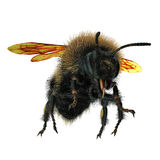 The Bumblebee or Bumble Bee Bombus terrestris isolated on white. 3D illustration. The Bumblebee or Bumble Bee Bombus terrestris isolated on white background. 3D Royalty Free Stock Images