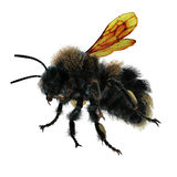 The Bumblebee or Bumble Bee Bombus terrestris isolated on white. 3D illustration. The Bumblebee or Bumble Bee Bombus terrestris isolated on white background. 3D Stock Images