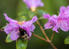 Bumblebee. Bumble bee extracting nectar from spring flowers in Switzerland, 2014 Stock Image