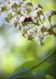 Bumblebee. Bumble bee on a flowering chestnut on a green background Royalty Free Stock Images