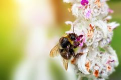 Bumblebee or bumble bee loading pollen on the flower Royalty Free Stock Photography