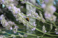 Bumblebee. While polinating lavendula flowers Stock Image