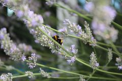 Bumblebee. While polinating lavendula flowers Stock Photos